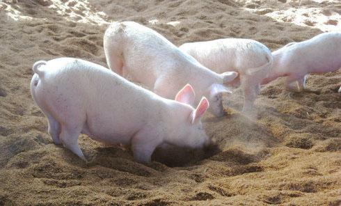 猪用发酵床